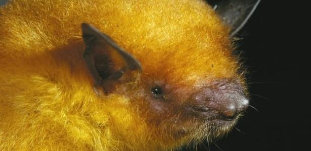 O morcego Myotis midastactus tem pelo curto e dourado e, segundo os cientistas, vive apenas na Bolívia - Reprodução/BBC