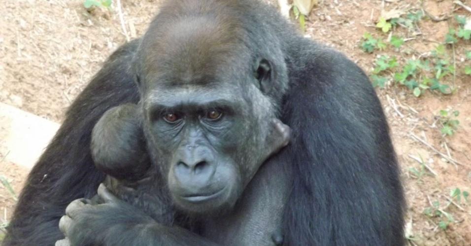 5.ago.2014 - A gorila Lou Lou deu à luz o primeiro gorila nascido em cativeiro na América do Sul, de acordo com a Fundação Zoo-botânica de Belo Horizonte, órgão da prefeitura municipal. O filhote de gorila da subespécie Gorilla gorilla gorilla nasceu no zoológico da capital mineira