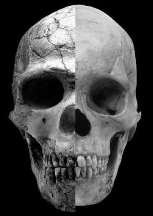 O crânio do homo sapiens tem formas mais arredondadas e um supercílio menos proeminente que seu antecessor. Estas características estão diretamente relacionado com a influência do hormônio testosterona