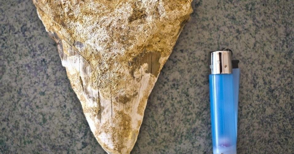 7.ago.2014 - O agricultor Francisco Marín Raposo, que vive próximo de Lepe, em Huelva, na Espanha, encontrou um dente de tubarão com 15,5 centímetros de comprimento. De acordo com o doutor em Paleontologia da Universidade de Huelva, Fernando Muñiz, o fóssil tem aproximadamente seis milhões de anos