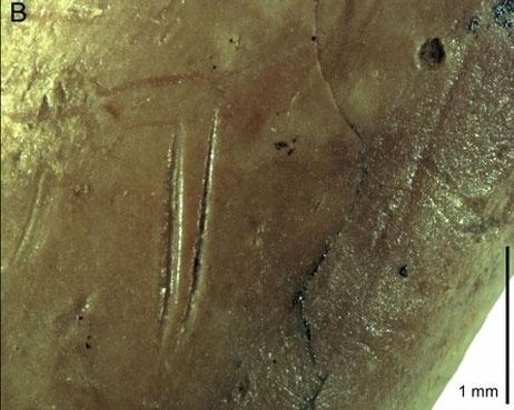 8.ago.2014 - O homem de Neandertal provavelmente capturava pombos para se alimentar, segundo cientistas que descobriram marcas de utensílios de cozinha, dentes e vestígios de cozimento em ossos de pombos encontrados na caverna de Gorham, no penhasco de Gibraltar. Na imagem, um osso de pomba com marcas de corte que foi encontrado no local