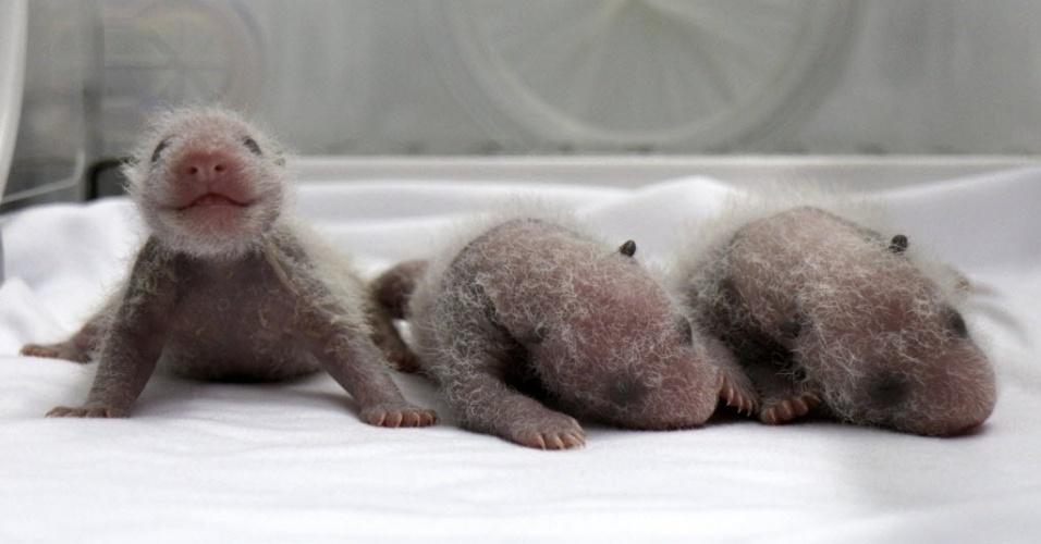 12.ago.2014 - Filhotes trigêmeos recém-nascidos de panda gigante são vistos dentro de uma incubadora no Chimelong Safari Park na província de Guangdong, na China, no último sábado (9). De acordo com a imprensa local, esta é a quarta vez que trigêmeos de panda gigante nasceram com a ajuda de procedimentos de inseminação artificial no país. O nascimento é visto como um milagre, devido à baixa taxa de reprodução da espécie
