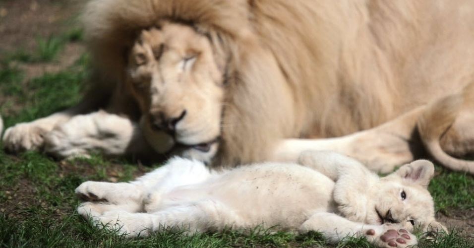 15.ago.2014 - Filhote de leão branco descansa com o pai, o leão Yabu (dir.)
