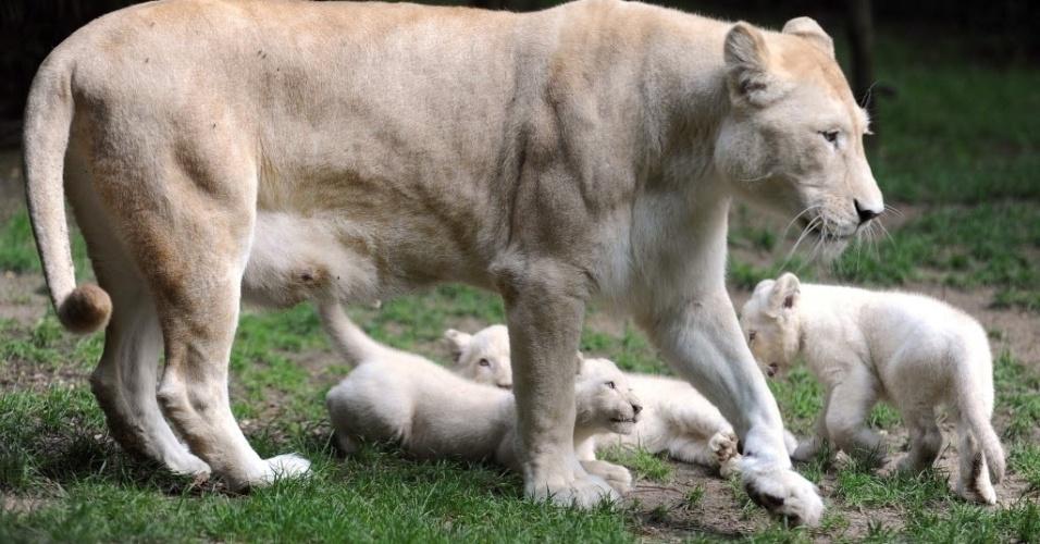15.ago.2014 - Filhotes de leão branco com a mãe, a leoa Nikita