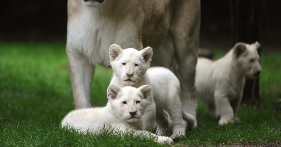 15.ago.2014 - Três filhotes de leão branco nasceram no zoológico de La Fleche, na França