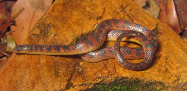 De tamanho pequeno, aproximadamente 30 cm, a espécie Atractus spinalis foi identificada na Serra do Espinhaço, no Parque Nacional da Serra do Cipó - Reprodução/Mauro Teixeira Júnior