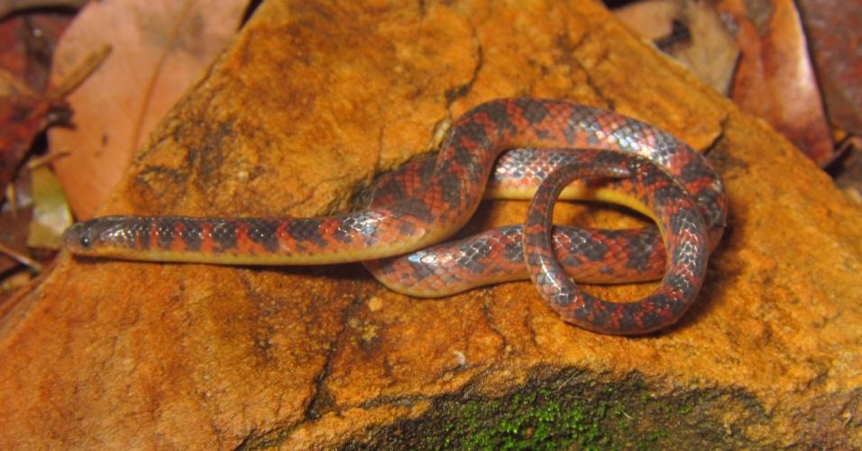 19.ago.2014 - De tamanho pequeno, aproximadamente 30 cm, a espécie Atractus spinalis foi identificada na Serra do Espinhaço, no Parque Nacional da Serra do Cipó