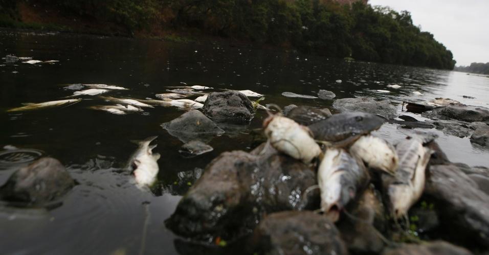 19.ago.2014 - Mortandade de peixes no rio Piracicaba, no interior de São Paulo, ocorrida na semana passada. Cerca de 1 tonelada de peixes foi encontrada morta no leito do rio. Índice de poluição no rio supera em cinco vezes o observado em rios com poluição considerada aceitável