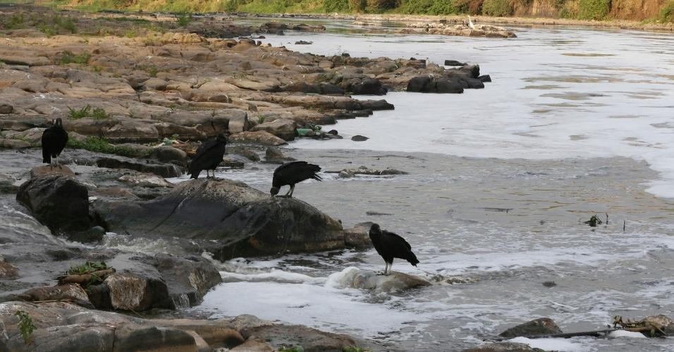 19.ago.2014 - Urubus comem capivara no rio Piracicaba, no interior de São Paulo. A falta de chuvas no Estado agravou a situação do manancial. Índice de poluição no rio supera em cinco vezes o observado em rios com poluição considerada aceitável
