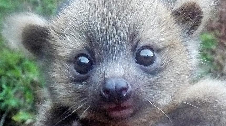 """20.ago.2014 - """"Existiria animal mais adorável que o olinguito? A resposta é um bebê olinguito"""", diz pesquisador"""