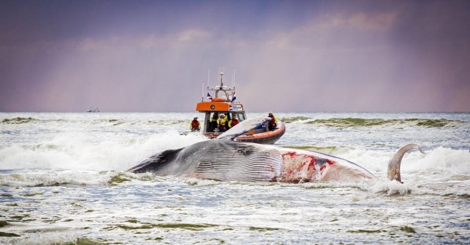 20.ago.2014 - Uma baleia morta é arrastada por uma embarcação da KNRM (Real Organização de Resgate Holandês) para uma praia de Scheveningen, na Holanda, nesta quarta-feira (20). O corpo do animal estava a cinco quilômetros da praia no mar do Norte quando foi descoberto
