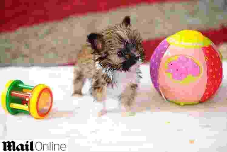 21.ago.2014 - Com apenas 10 centímetros de altura (menor que um iPhone 5) e pesando 311 gramas, o cãozinho Tyson é um forte concorrente ao posto de ''o menor animal da categoria'' no Reino Unido. Como ainda vai completar 5 meses de idade, é preciso esperar que chegue à idade adulta para obter o recorde, que atualmente pertence a um yorkshire de 12 cm - Reprodução/Daily Mail