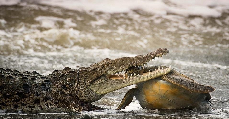 """26.ago.2014 - Crocodilo agarra tartaruga verde pelo pescoço no Parque Nacional Corcovado, na Costa Rica. """"Com um movimento rápido, o crocodilo segurou a tartaruga pela nadadeira, depois agarrou-a pela cabeça"""", afirmou o fotógrafo Alejandro Prieto. A imagem foi uma das finalistas do concurso Wildlife Photographer of the Year, do Museu de História Natural de Londres"""