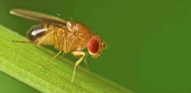 A mosca de fruta (Drosophila melanogaster): mais coisas em comum com vermes e humanos do que se imagina - Divulgação