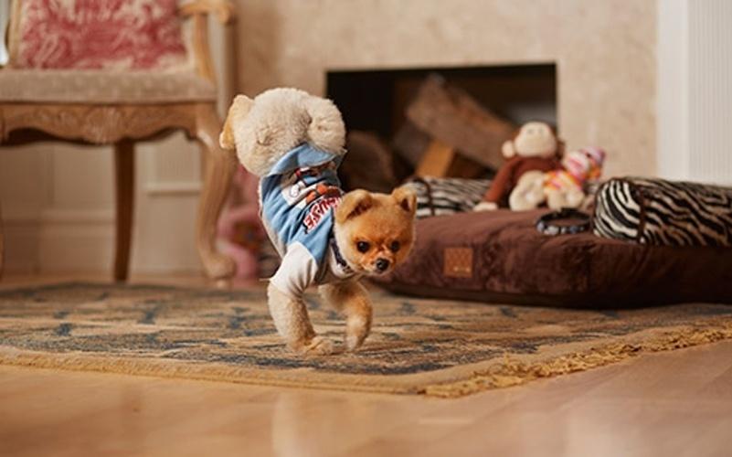 28.ago.2014 - O lulu da pomerânia Jiff, além de fofo, conseguiu bater dois recordes do mundo canino. É o mais rápido a andar sobre duas patas -- tanto só com as traseiras, como com apenas as dianteiras. Os recordes foram reconhecidos pelo Guinness