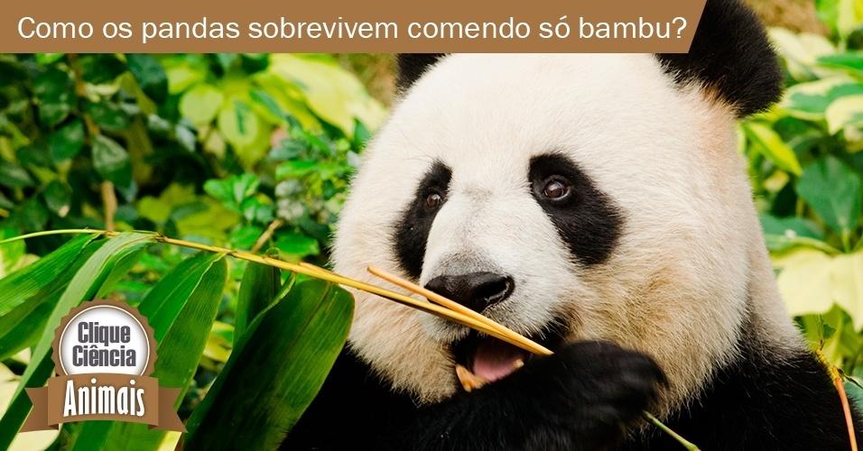 Os pandas são ursos mas, ao contrário dos 'primos' carnívoros, só se alimentam de bambu. Como eles perderam o 'gosto pela carne' e se passaram a uma dieta digna de animais vegetarianos é algo que já virou objeto de estudos. Segundo os pesquisadores, os pandas contam com uma versão inativa do gene Tas1r1, que permite identificar o sabor umami, próprio das carnes. Mas para manter o corpo em movimento com uma dieta menos rica em calorias, só fazendo 'malabarismos'