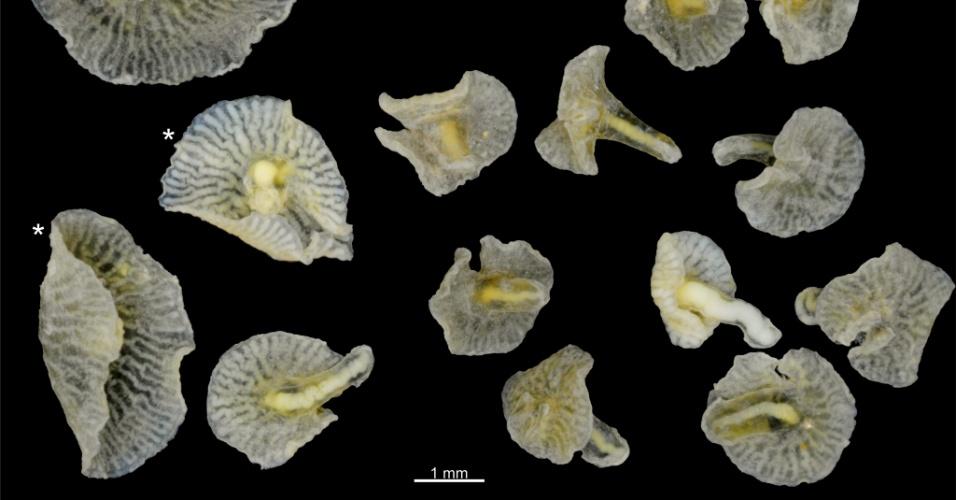 Criaturas semelhantes a cogumelos são descobertas no mar da Austrália