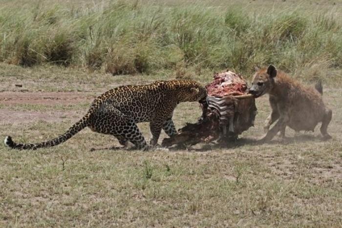 5.set.2014 -  Um leopardo enfrenta hienas pela carcaça de uma zebra, na reserva ambiental de Maasai Mara, no Quênia