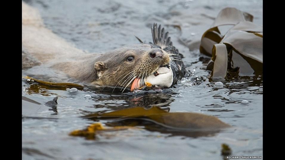 5.set.2014 - Uma lontra capturando um papagaio-do-mar, também nas Ilhas Shetland, foi a foto vencedora na categoria Comportamento Animal. O autor é Richard Shucksmith