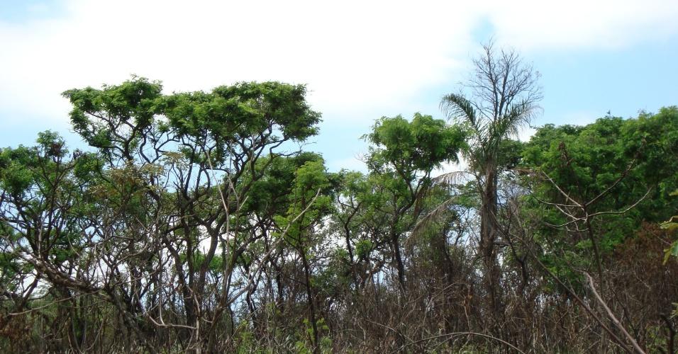 10.ago.2014 - Nesta quinta-feira (11), se celebra o Dia Nacional do Cerrado, tipo de vegetação que ocupa 20% do território nacional, estando presente em 13 estados da federação. A data surgiu em 2003 como forma de incentivar a preservação do segundo maior bioma brasileiro. Estima-se que existam mais de 10 mil espécies de plantas, muitas delas exclusivas do cerrado