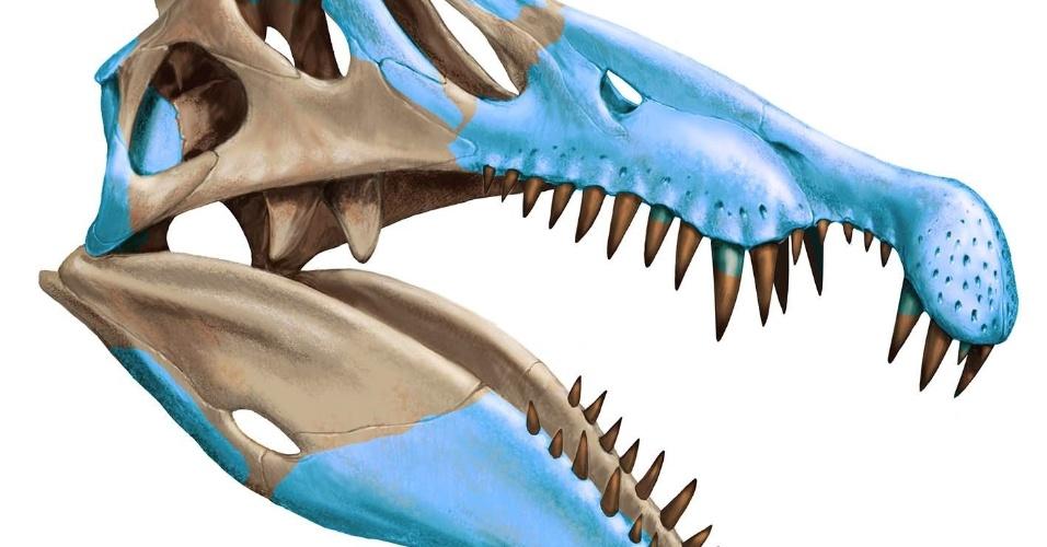 10.set.2014 - Reconstrução gráfica mostra crânio do Spinosaurus aegyptiacus, criada a partir dos fósseis descobertos durante a expedição na região de Kem Kem, no sudeste do Marrocos. Pesquisadores descobriram que o dinossauro carnívoro, maior do que o Tyrannosaurus rex, era semiaquático, característica rara entre os dinossauros