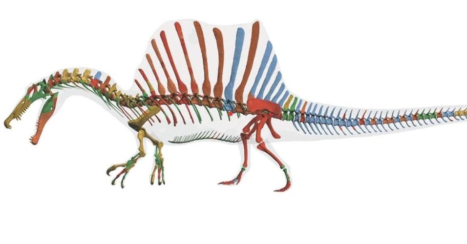 10.set.2014 - Reconstrução gráfica mostra esqueleto do Spinosaurus aegyptiacus sob o contorno de pele transparente. Os códigos de cor são usados para mostrar a origem das diferentes partes do esqueleto. Pesquisadores descobriram que o dinossauro carnívoro, maior do que o Tyrannosaurus rex, era semiaquático, característica rara entre os dinossauros