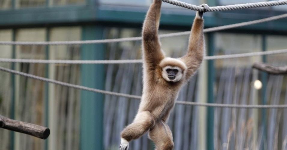 10.set.2014 - Um gibão das mãos brancas se balança em uma corda no zoológico Tiergarten Schoenbrunn, em Viena (Áustria) , em foto tirada em 10 de janeiro de 2012. Os cientistas revelaram nesta quarta-feira (10) o genoma de gibões, primos próximos geneticamente dos humanos. O material genético dessa espécie de primata era um mistério para a ciência até então, sendo a última a ter seus segredos revelados pelos cientistas