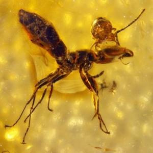 Âmbar preserva ataque de ácaro à cabeça de uma formiga - J. Dunlop/ Museum fur Naturkunde Berlin