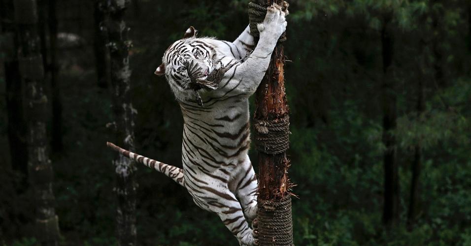 19.set.2014 - Tigre de Bengala branco sobe em árvore para alcançar um faisão pendurado por cuidador, em parque da vida selvagem em Kunming, sul da China, nesta sexta-feira (19)