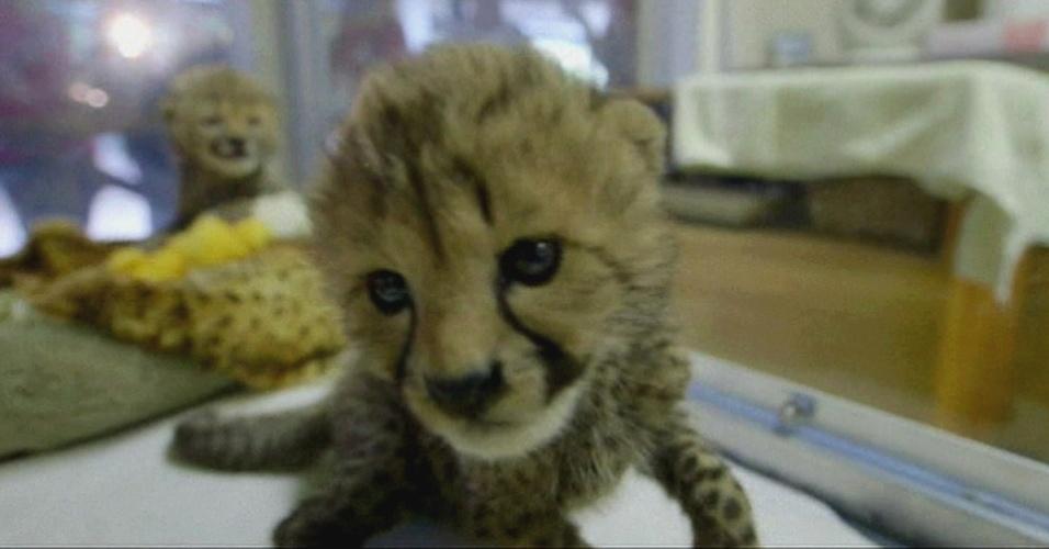 21.set.2014 - Filhotes de guepardos encantam público nos EUA