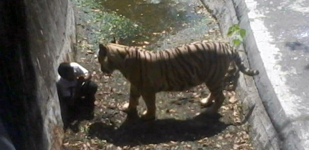 Tigre encara estudante em seu recinto no zoológico de Nova Déli, na Índia - AFP
