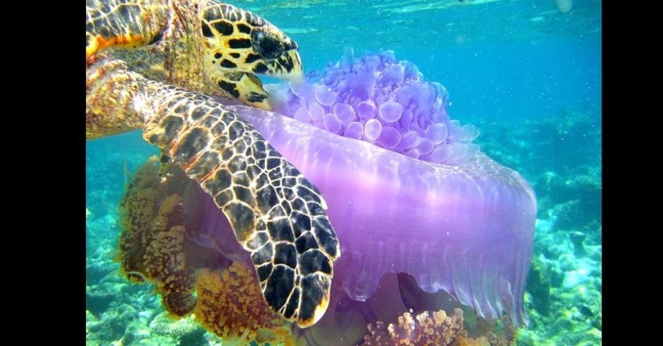 O adolescente Boris Barath, de 17 anos, estava no atol de Ari, nas Maldivas, quando flagrou esta tartarura devorando uma água-viva.