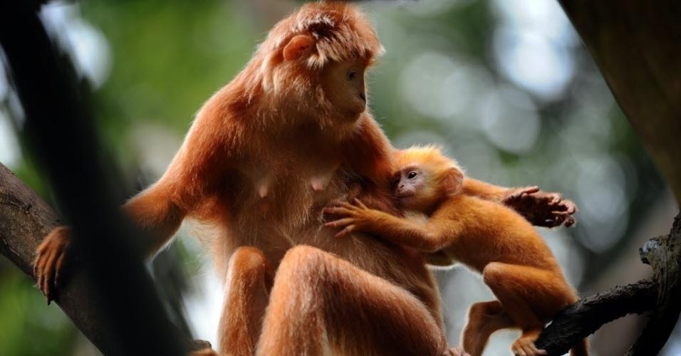 2.out.2014 - Filhote de Lutung-de-java, uma espécie de macaco, acompanha a mãe em reserva de Cingapura