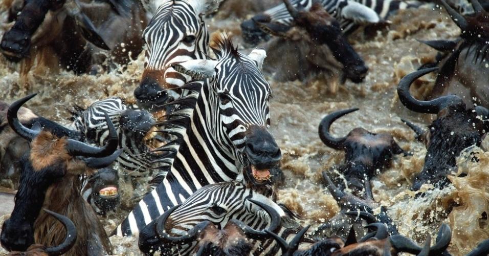 3.out.2014 - Estes rebanhos (de zebras) frequentemente pastam com outras espécies, e 250 mil zebras se juntam a 1 milhão de gnus para seguir as chuvas na grande migração do Serengeti ao Mara e de volta