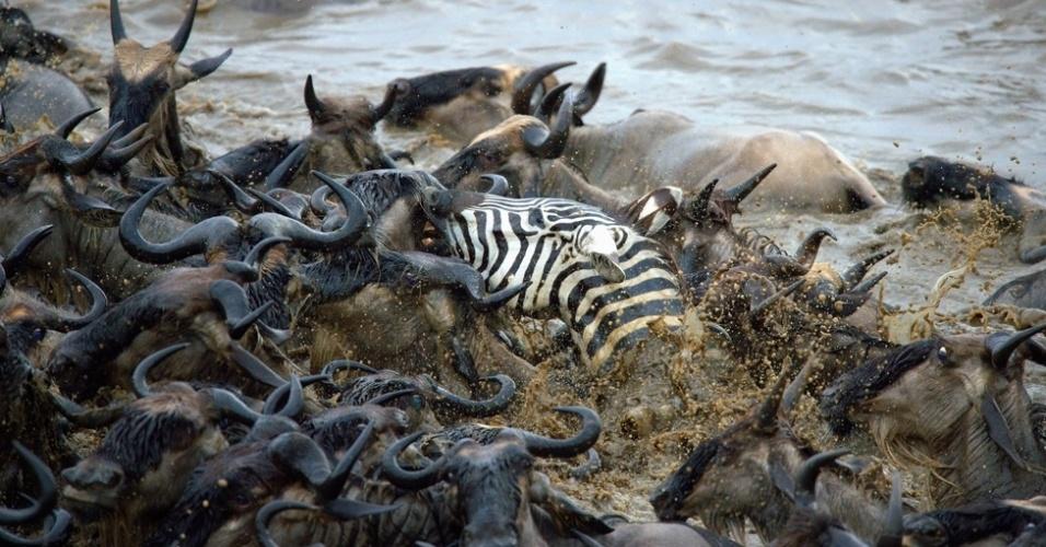 """3.out.2014 - """"Fotografar rebanhos nunca é fácil, mas quando as zebras entraram no rio, elas nos deram algo para nós nos focarmos. Quando uma zebra escapou da lama ao morder todos os gnus ao redor em pânico, era como se fosse um milagre"""", acrescentou"""