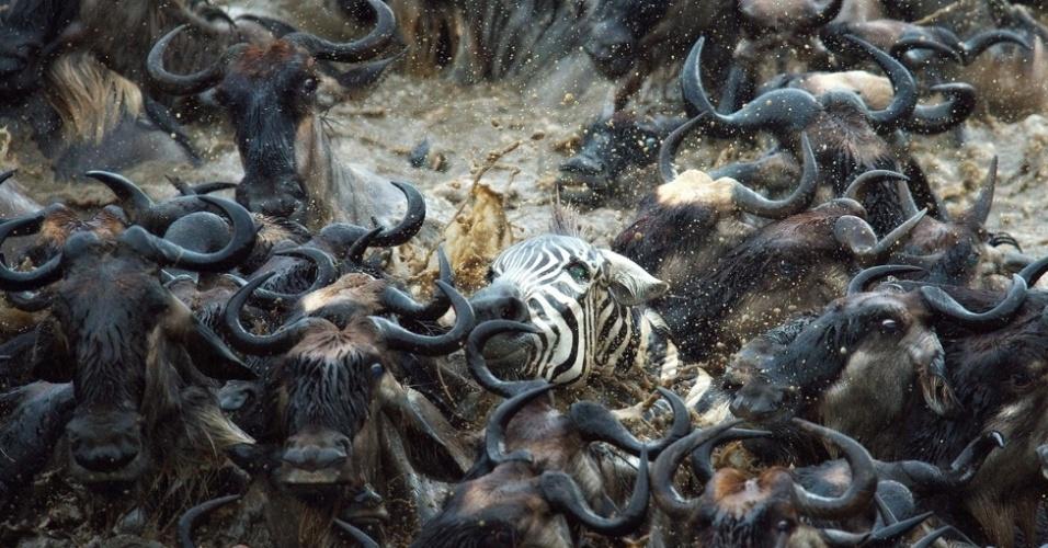 3.out.2014 - Grupos de famílias de zebras muitas vezes se juntam para formar grandes rebanhos, especialmente onde a estação da seca é extrema, como no Serengeti, na Tanzânia