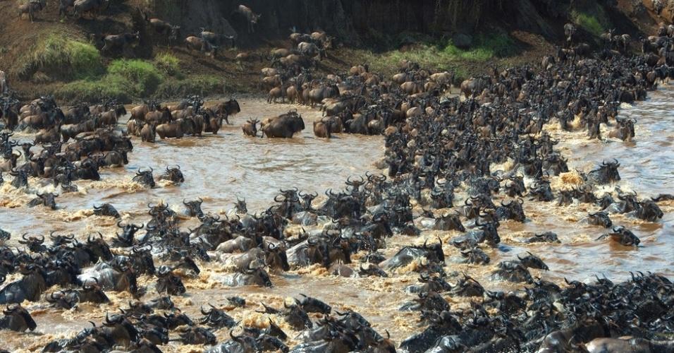 3.out.2014 - No início do ano, os gnus costumam habitar o sul de Serengeti, onde dão à luz a filhotes em grandes quantidades. Eles lentamente se movem em direção ao norte até chegarem aos campos Masai Mara em agosto, quando as chuvas aparecem. No outono, eles migram de volta para o local de onde partiram, no sul