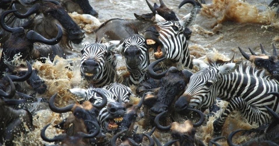 3.out.2014 - O fotógrafo Viktoras Dubinskas, de Fuengirola, na Espanha, observou recentemente diversas zebras lutando em meio a milhares de gnus para cruzar um dos rios do parque Serengeti, na Tanzânia
