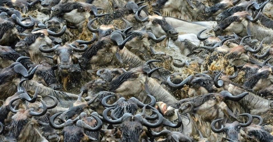 3.out.2014 - O grande obstáculo para os animais durante esta jornada é o rio Mara. Milhares de animais morrem atropelados ou afogados em gargalos que se formam nos pontos de passagem