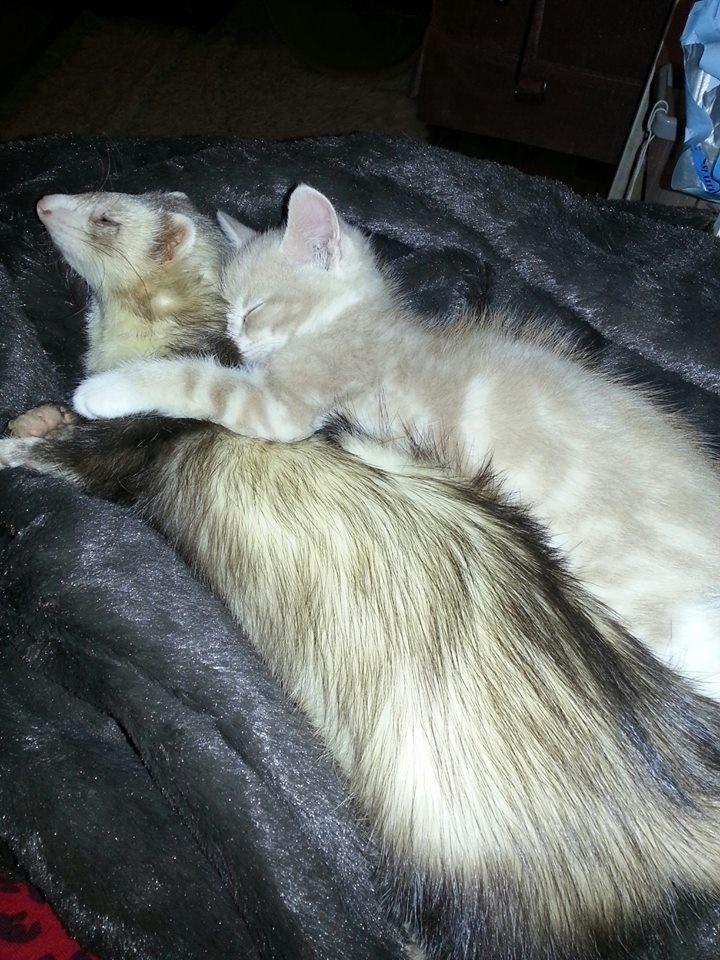 Um usuário da rede social Reddit ficou preocupado ao levar um gatinho para casa, pois não sabia qual seria a reação de seu furão. O resultado foi esta linda amizade
