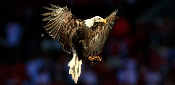 Mestras do voo em altitude, as águias contraem as asas quando encontram turbulência para evitar danificar os músculos - Jamie Squire/Getty Images /AFP