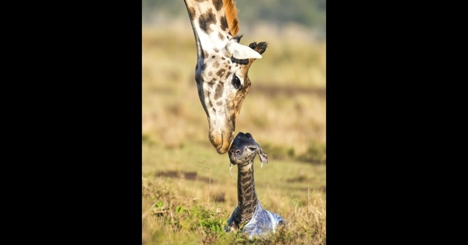 16.out.2014 - As girafas tem línguas muito longas, que usam para pegar vegetação. Sequência de imagens mostra o nascimento de uma girafa em uma reserva natural no Quênia