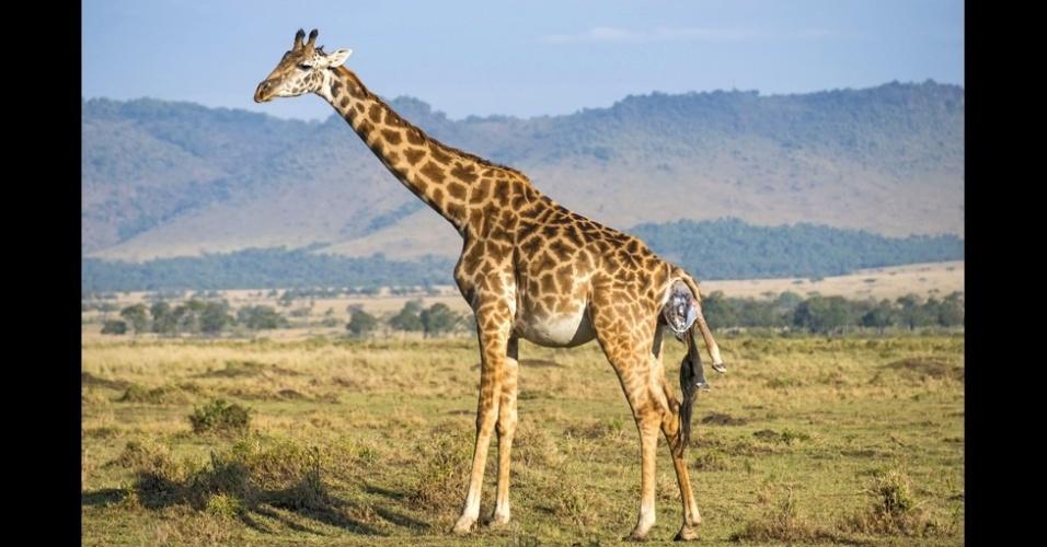 16.out.2014 - Cair é a primeira experiência da vida de uma girafa, já que as fêmeas dão à luz de pé