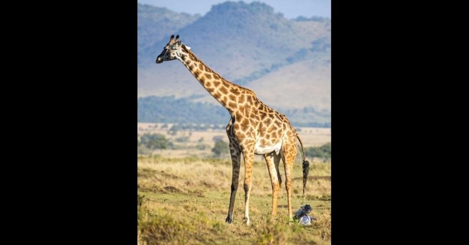16.out.2014 -  Nas primeiras semanas, a jovem girafa permanece escondida nas sombras. A mãe sempre volta para ela depois de suas andanças em busca de comida