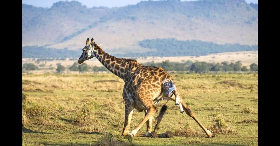 """16.out.2014 - """"Quando nos aproximamos das girafas, notamos que havia algo pendurado em uma delas. Vimos na hora que ela estava em trabalho de parto. Foi muito interessante ver as outras girafas ficarem de guarda enquanto isso, já que havia hienas nas proximidades"""", disse Andreas Knausenberger"""