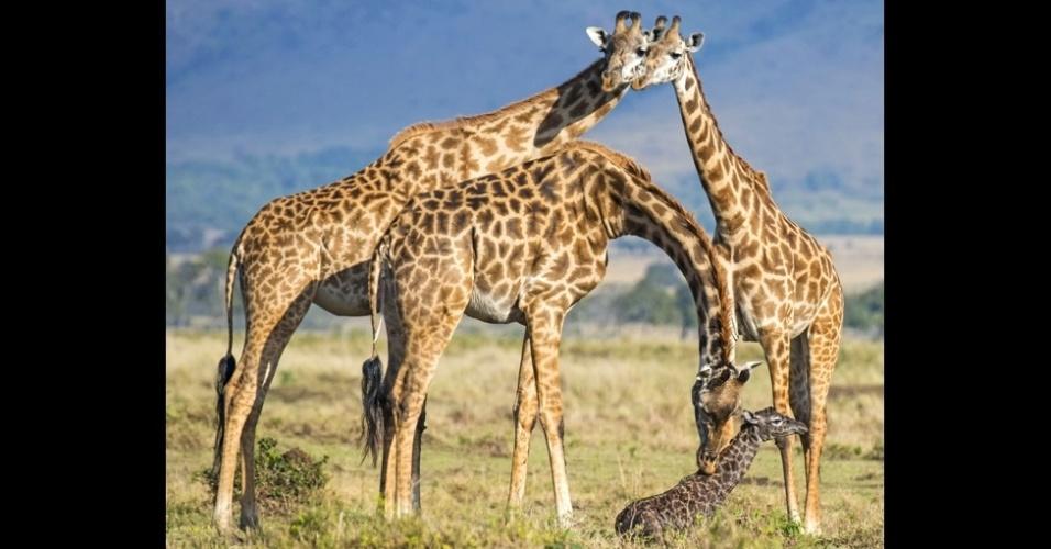 16.out.2014 -Pesquisas mostram que girafas fêmeas formam laços fortes com um pequeno grupo de companheiras