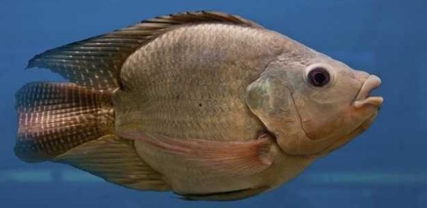 Impacto de remédios na natureza faz peixes machos ficarem femininos