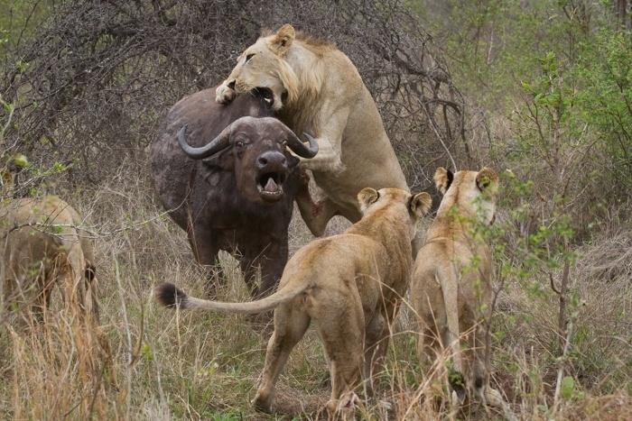3.nov.2014 - Leões atacam búfalo em grupo nas moitas Gwarrie, na reserva Londozi, África do Sul