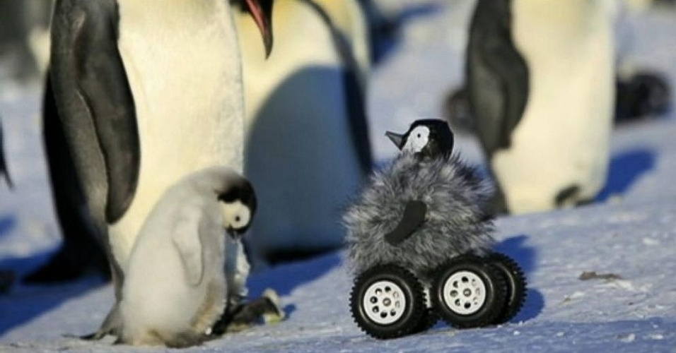Filhote de pinguim-rei parece tranquilo na presença de robô pinguim enviado por pesquisadores e que conseguiu se 'infiltrar' na creche de uma colonia de pinguins-rei