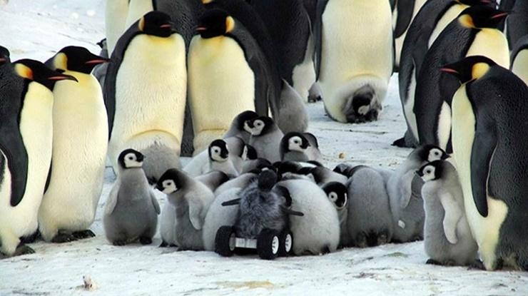 O robô camuflado de filhote se infiltra na creche de pinguins-rei